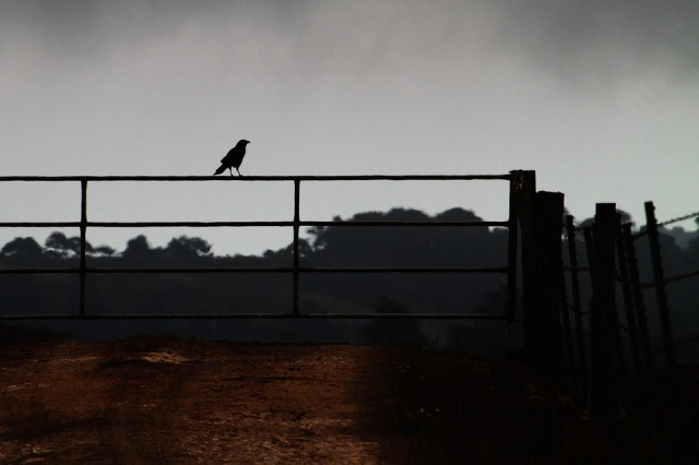 crow-on-a-fence-985615_960_720
